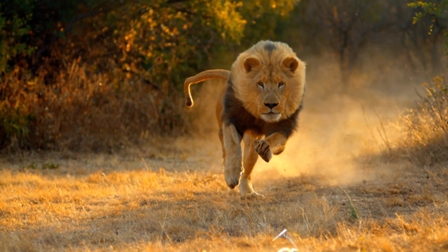 Escaped lion injures 3 in Malawi
