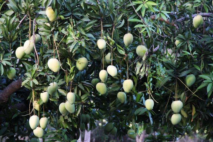 Hanu Reddy to host Mango Tourism at Othivakkam
